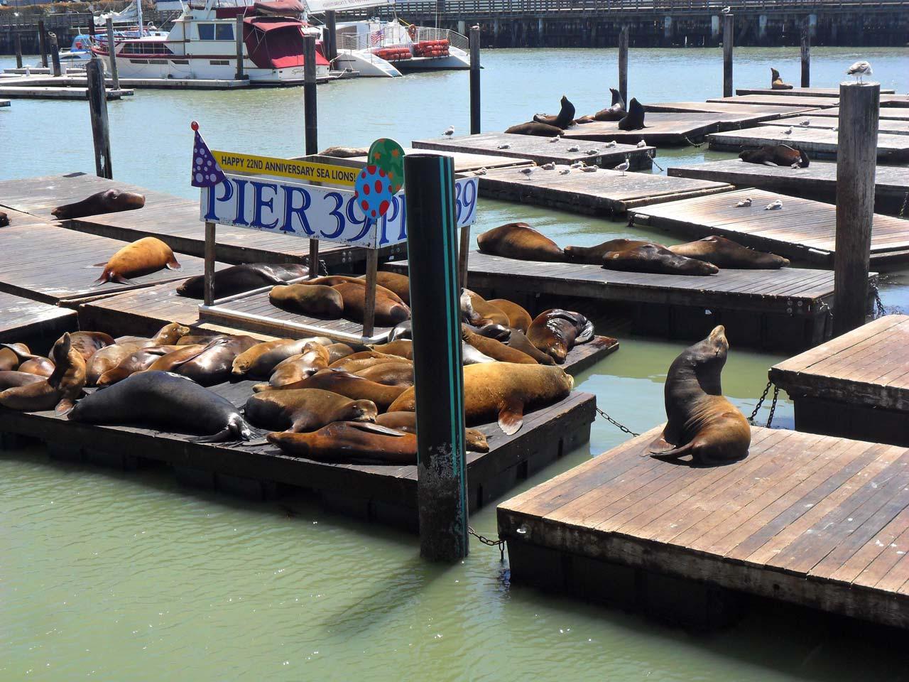 Ünlü Pier 39 ve sea lions